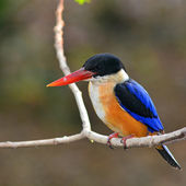 Black-capped Kingfisher bird — Stock Photo