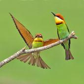 Bee eater Bird — Stock Photo