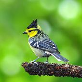Yellow-cheeked Tit bird — Stock Photo