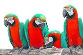 красивые ара — Стоковое фото