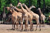 Group of giraffes — Stock Photo