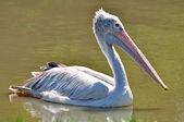 Plats-billed pelican — Stockfoto