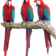 Stock Photo: Macaw isolate
