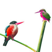 Encounter of Kingfisher Bird — Stock Photo