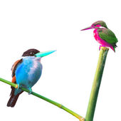 Encounter of Kingfisher Bird — Stock Photo