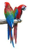 Macaw isolate — Stock Photo