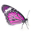 Pink Butterfly — Stockfoto