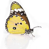 Yellow Butterfly — Stock Photo