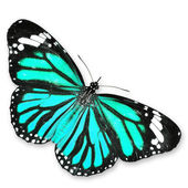 Farfalla blu — Foto Stock