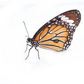 Monarkfjärilen — Stockfoto