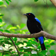 Постер, плакат: Asian Fairy Bluebird
