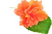 Colorful Orange Hibiscus flower — Stock Photo