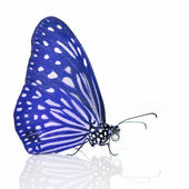 голубая бабочка — Стоковое фото