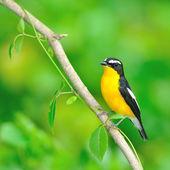 Yellow-rumped Flycatcher bird — Стоковое фото