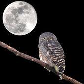 Asian Barred Owlet — Zdjęcie stockowe