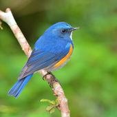 Himalayan Bluetail bird — Stock Photo