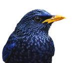 Blue Whistling Thrush Bird — Stock Photo