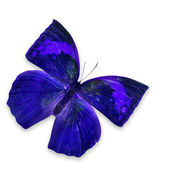 Modrý motýl — Stock fotografie