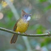 Puff-throated bulbul bird — Stockfoto