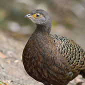 Grey Peacock-Pheasant bird — 图库照片