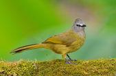 Uccello bulbul flavescent — Foto Stock