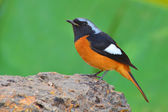 Daurian Redstart bird — Stock Photo