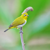 Oriental White-eye Bird — Stock Photo