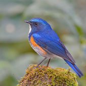 Himalayan Bluetail bird — Foto de Stock