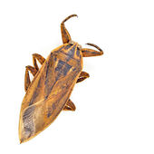 Giant water bug — Stock Photo