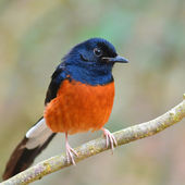White-Rumped Shama bird — Stock Photo