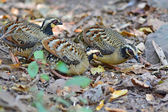 Bar-backed Partridge bird — Stock Photo