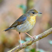 Siberian Blue Robin bird — Stock Photo