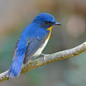 Tickell van blauw-vliegenvanger vogel — Stockfoto