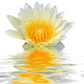 Vita lotus flyter i vatten — Stockfoto