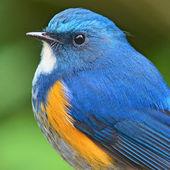 Himalayan Bluetail — Zdjęcie stockowe