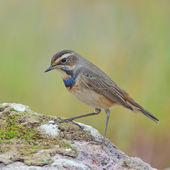 Bluethroat Bird — 图库照片