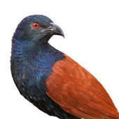 Greater Coucal — Foto de Stock