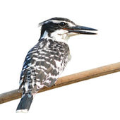 Pied kingfisher — Stock Photo