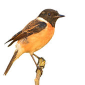 Stonechat bird — Stock Photo