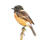 Stonechat bird — Stock Photo