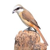 Brown Shrike bird — Stock Photo