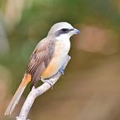Brown Shrike bird — Stock Photo