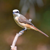 Brown Shrike bird — Photo