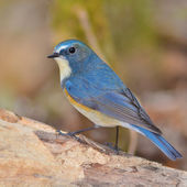 Red-flanked Bluetail bird — Stock Photo