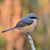 Grey-backed Shrike bird — Stock Photo