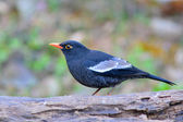 Grey-winged Blackbird — Stock Photo