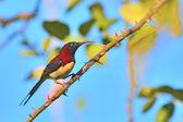 Black-throated Sunbird — Stock Photo