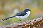 Dark-backed Sibia bird — Stock Photo