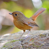 Slaty-blue Flycatcher bird — Stock Photo
