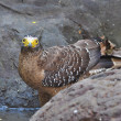 Stock Photo: Crested serpent eagle bird